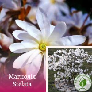 "Магнолія ""Stellata"" (зірчата)"