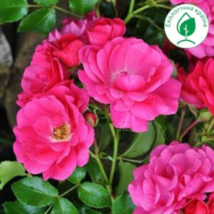 "Троянда ""Малинова"""