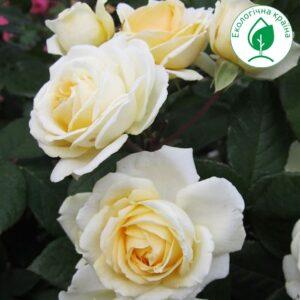 "Троянда ""Manuel Canovas"""