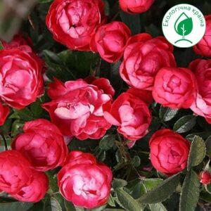 """Троянда """"Muttertag"""""""