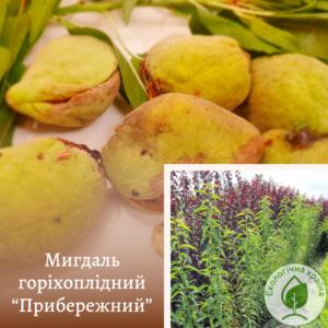 """Мигдаль горіхоплідний """"Прибережний"""" с7"""