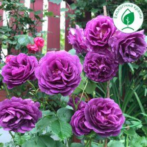 "Троянда ""Минерва"""