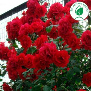"Троянда ""Nahel Glou"""