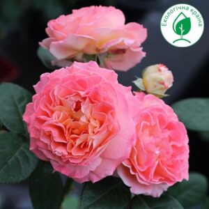 "Троянда ""Notre Dame du Rosaire"" ВКС"