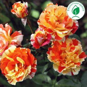 """Троянда """"Оранж&Лемон"""" с7"""