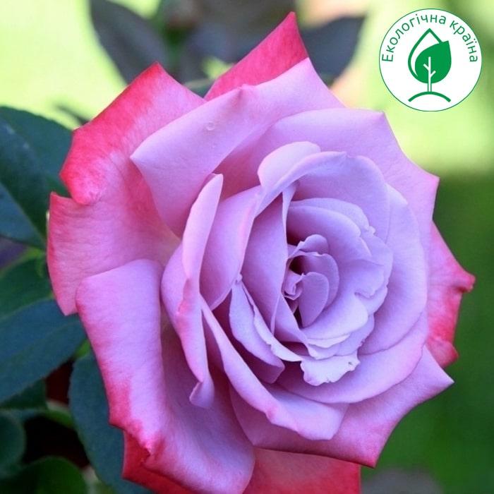 """Троянда штамбова """"Paradise"""" с7"""