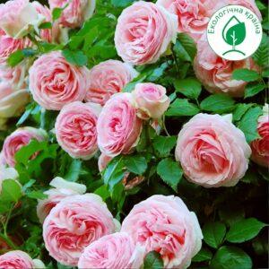 "Троянда ""Pierre de Ronsard"""
