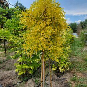 """Бірючина (Ligustrum vulgare) """"Aurea"""" на штамбі. С7"""