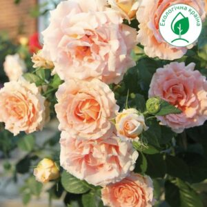 Троянда Polka (Полька)