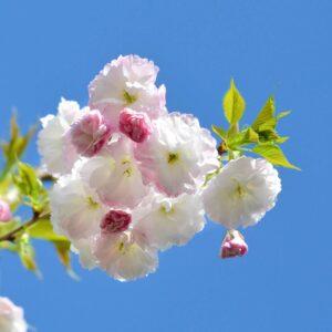 "Сакура (Prunus serrulata) ""Shimidsu"" С7"
