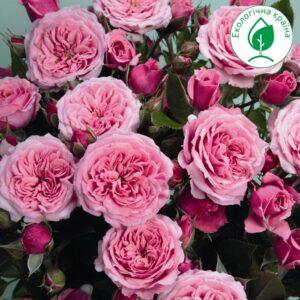 """Троянда """"Pink Baby"""""""