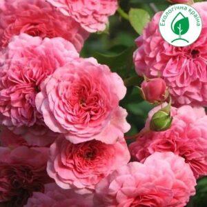 "Троянда ""Pink Swany"""