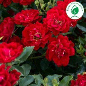 "Троянда ""Red Bells"" с7"