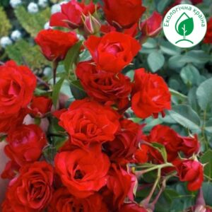 """Троянда """"Red Cascade"""" с7"""