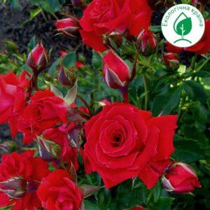 "Троянда ""Red Makarena """