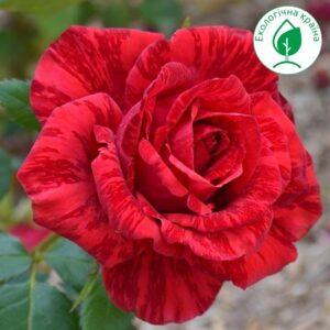 """Троянда штамбова """"Red Intuition"""" ВКС"""