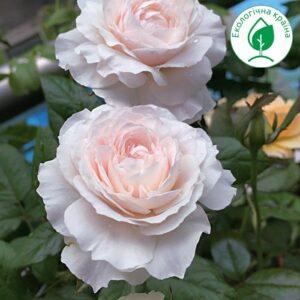 "Троянда ""Rosalind"""