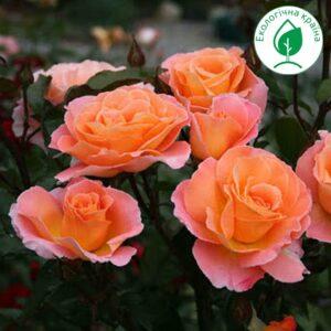 """Троянда """"Rosemary"""""""