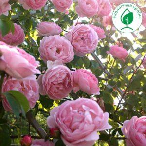 """Троянда """"Рожева хмара"""""""
