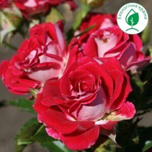 """Троянда """"Ruby Star"""""""