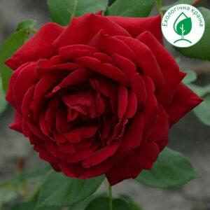 """Троянда """"Rubin"""" с7"""