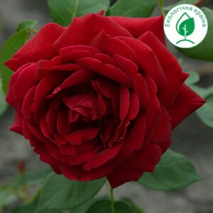 "Троянда ""Rubin"""