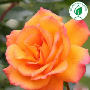 "Троянда ""Сахара"""