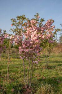 "Сакура (Prunus serrulata) ""Pink Perfection"" с7"