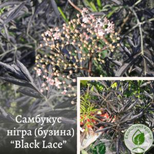 """Самбукус нігра (бузина) """"Black Lace"""" с5. 0,3-0,5м"""