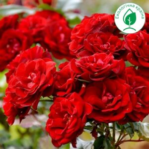 "Троянда ""Satchmo"""