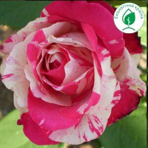 "Троянда ""Satina"" с7"