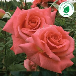 """Троянда """"Shogun"""""""