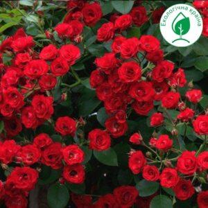 """Троянда """"Scarlet"""""""