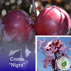 "Слива (Prunus cerasifera) ""Nigra"" с10"