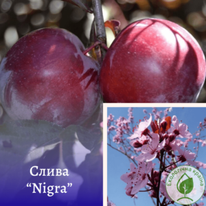 "Слива (Prunus cerasifera) ""Nigra"" штамб 1,2-1,4м"