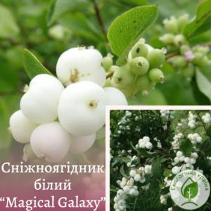 """Сніжноягідник білий """"Magical Galaxy"""""""
