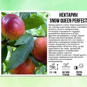 "Нектарин ""Snow Queen Perfekt"""