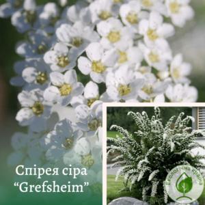 """Спірея сіра """"Grefsheim"""" с1,5"""