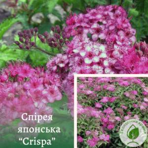 """Спірея японська """"Crispa"""" с3. 0,3-0,4 м"""