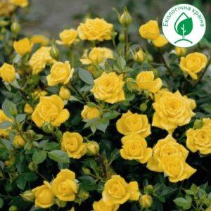 Троянда спрей Жовта с7