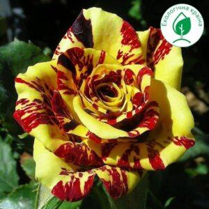 "Троянда ""Simsalabim"""