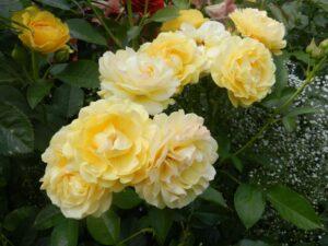 """Троянда """"Shanni"""" c7"""
