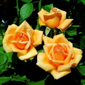 """Троянда """"Valencia"""" с7"""