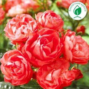 """Троянда """"Vatertag"""""""