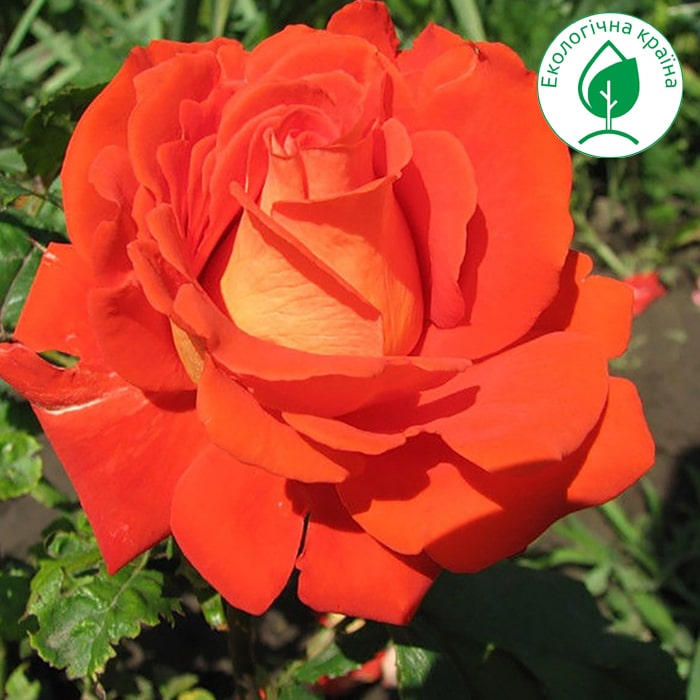"Троянда ""Verano"""
