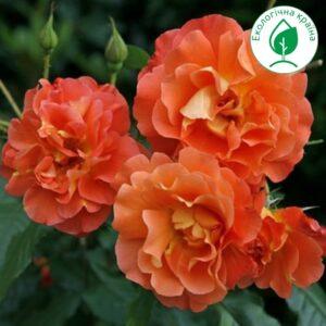 """Троянда """"Westerland"""""""