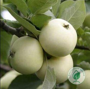 """Яблуня """"Білосніжка"""""""