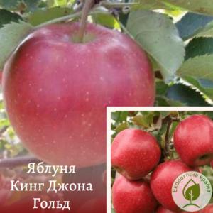 """Яблуня """"Кинг Джона Гольд"""""""
