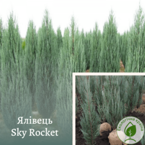 "Ялівець ""Sky Rocket"" 1,3-1,5 м"