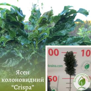 """Ясен колоновидний """"Crispa"""" ВКС 1-1,3м"""